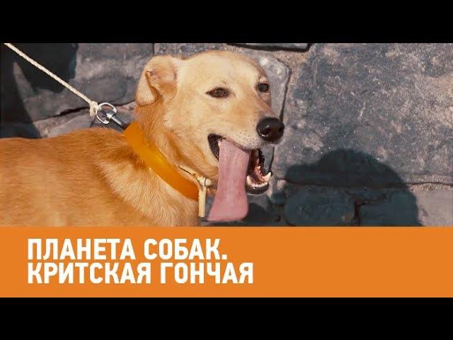 Критская гончая Планета собак 🌏 Моя Планета