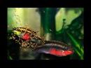 Пельвикахромис Пульхер или Попугайчик (Pelvicachromis pulcher) Разведение и Уход за малька...