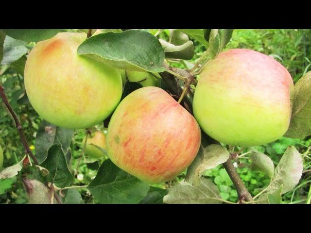 Лучше меньше да лучше Нормировка урожая яблок