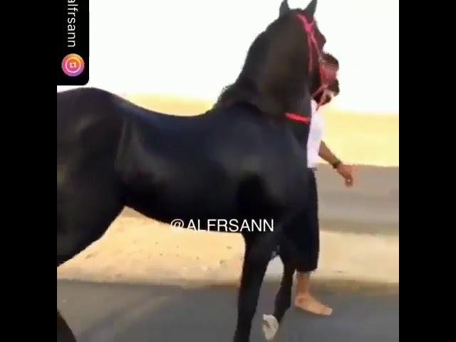 Арабский скакун 😍😍......красавец