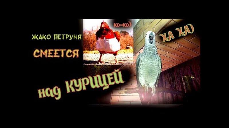 Попугай ЖАКО Петруня смеётся над КУРИЦЕЙ)Parrot Jaco Peter laughs at the chicken)