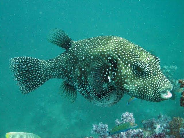Koh Tao diving - pufferfish and stingray