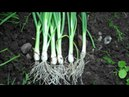 How to Grow Spring Onions from Seed