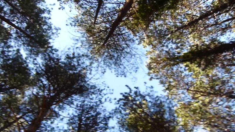 Les cimes des pins