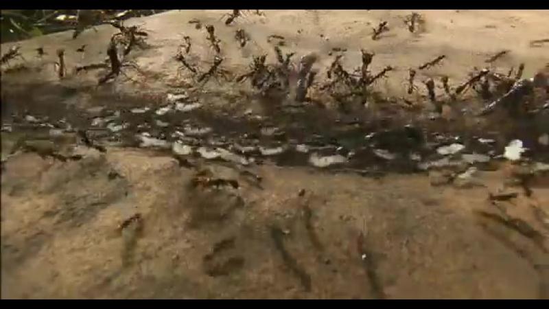 Муравьи придушили змеюку