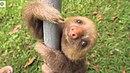 смешные маленькие ленивцы