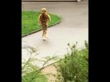 Тренировка ловли сбежавшего из вольера тигра