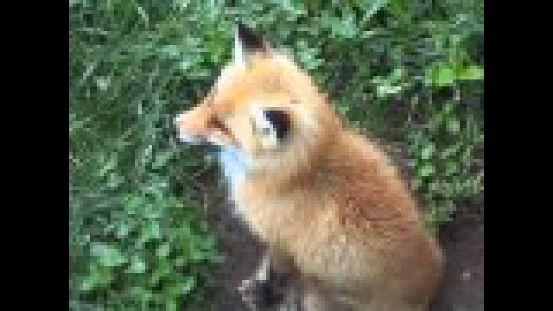 See A Real Live Red Fox
