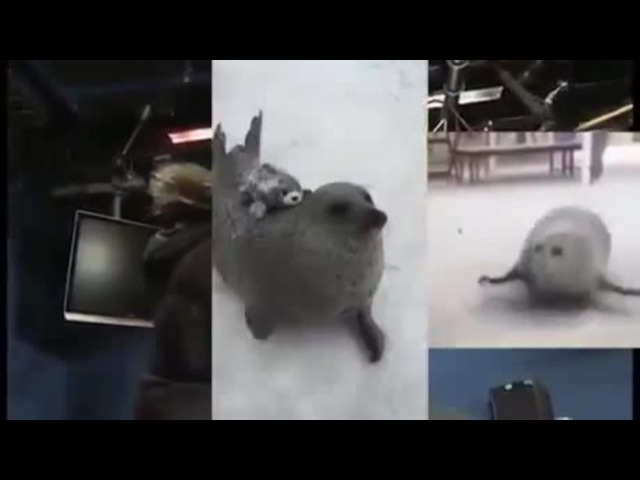 The Seal Goes Skrra! · coub, коуб