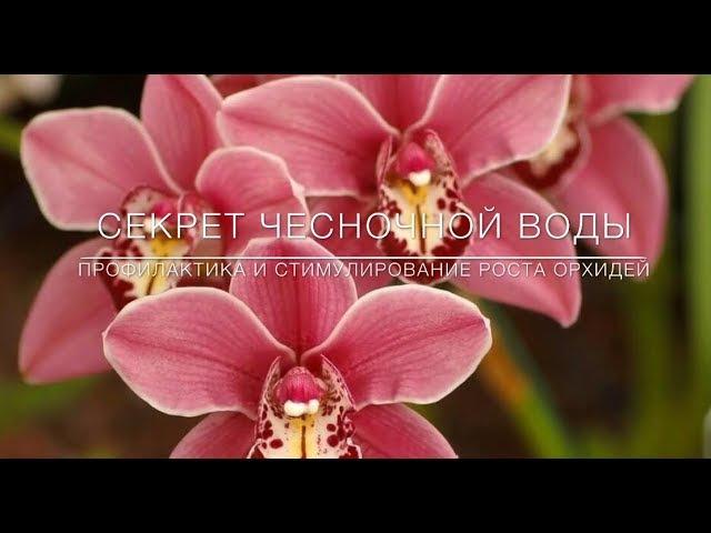 Секрет Чесночной Воды Профилактика и Стимулирование Цветения Орхидей 🌸