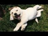 Смешные и милые щенки Лабрадора