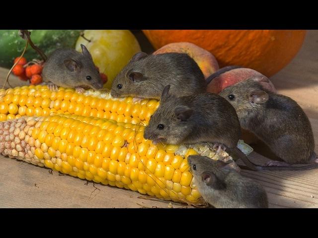 Как избавиться от мышей с помощью пэт бутылки