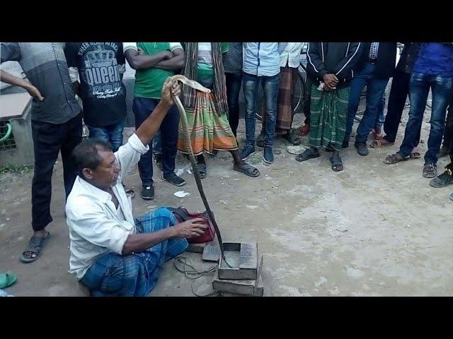 Amazing Snake Cobra Show, Poisonous Snake Cobra Played by Bangladeshi Snake Charmer.