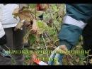 Обрезка черной смородины осенью