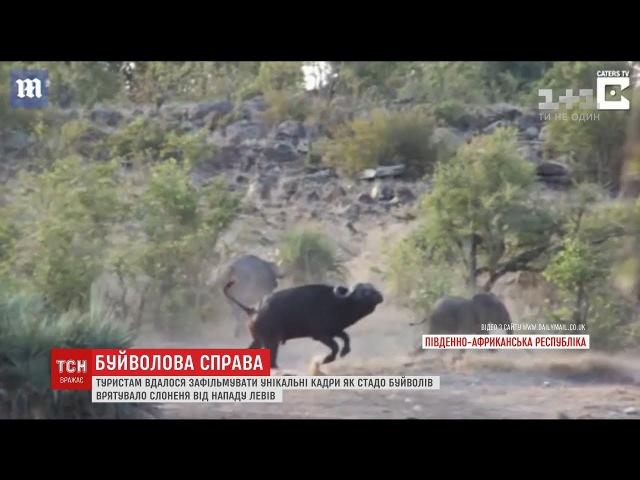 У Південній Африці туристи зафільмували порятунок слоненя стадом буйволів