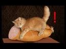 Смешные кошки приколы про кошек и котов 2018 4 Лучшие приколы из новых – Смешные коты 2018