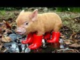 Micro Pig Mania - Cute Mini Pig Videos Funny Compilation