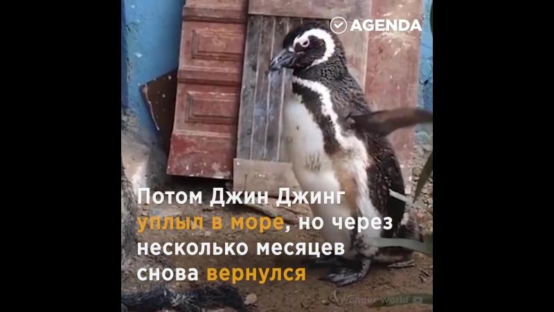 благодарность и верность за спасение (человек и пингвин)