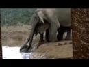 Семейство слонов спасли маленького слоненка от смерти