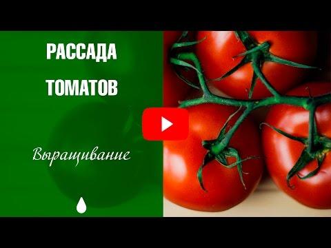 Рассада томатов ➡ Почему скручиваются и желтеют листья