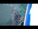 Белая Акула попала в рыбацкие сети