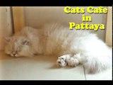 C Cat Cafe Pattaya HD