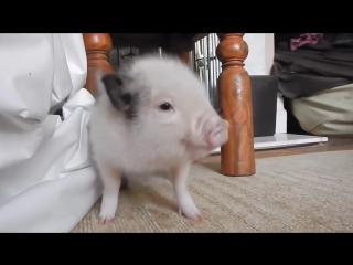 Тверк от свинки