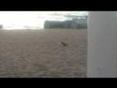 голубь на песочке