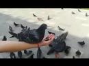 Кормление голубей с рук)