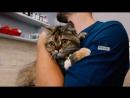 кошка через два часа после лапароскопической слерилизации в ветеринарной клинике САС Минск