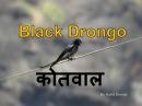 Чёрный дронго / Black drongo / Dicrurus macrocercus