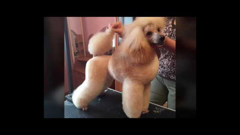 Kennel poodles Iz Mimoletnogo Vudenija presents: WORLD DOG SHOW -2016