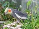 Попугай корелла песенки поет Parrot Sings