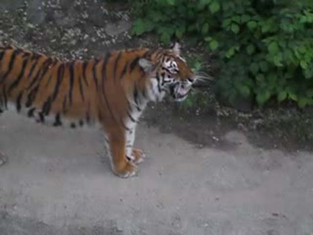 Добрая тигра Ирена