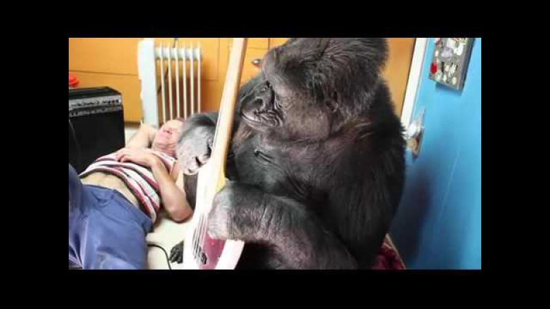 Red Hot Chili Peppers bassist Flea meets Koko the gorilla