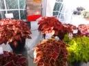 2014 Spring Trials: DUMMEN RedFox MainStreet Coleus