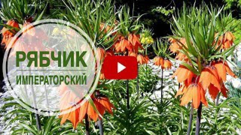Садовые цветы 🌺 Рябчик императорский ➡ Как выращивать?