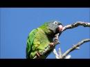 Blue crowned parakeet Острохвостая аратинга Синелобая аратинга Aratinga acuticaudata Thectocercus acuticaudatus