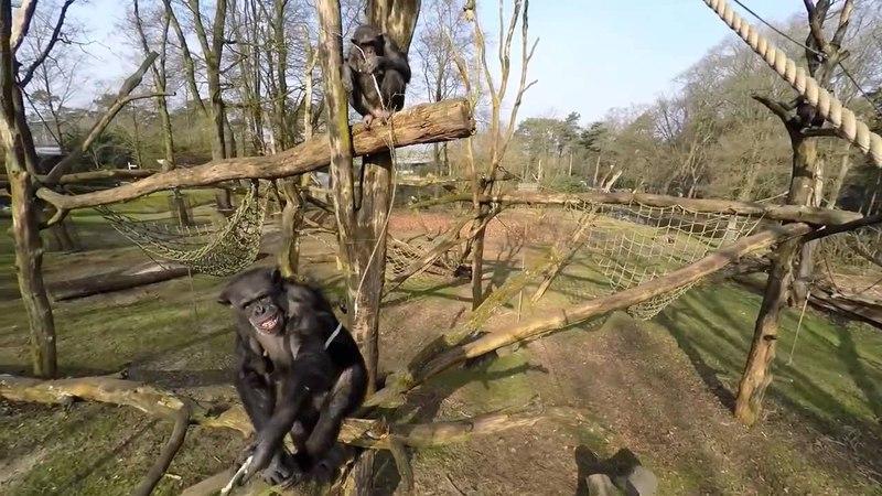 Шимпанзе сбивает дрон квадрокоптер