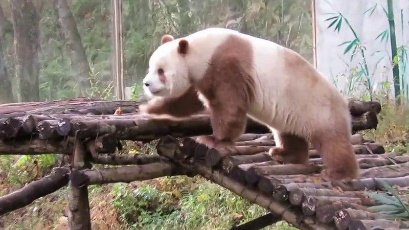 The Chocolate Bear Qi Zai's Antics