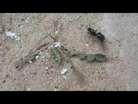 Лет муравьёв Messor Structor в Одессе
