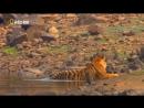 Тигр Джунглей. Tiger Jungles (2012)