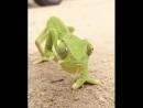 У хамелеона отличное зрение с 360 градусным углом обзора Он может смотреть в двух направлениях одновременно