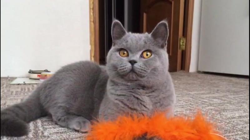 Британские кот и кошка, Рина и Лагутен, счастливы вместе!