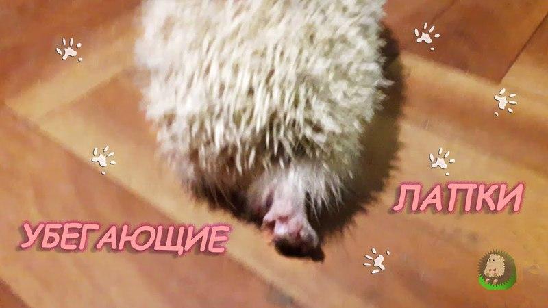 Очень смешные убегающие лапки Веги. Лесной еж, ежи, ежик, еж, альбинос, альбиносы, albino » Freewka.com - Смотреть онлайн в хорощем качестве
