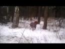 Охота риджбека на льва - часть 3