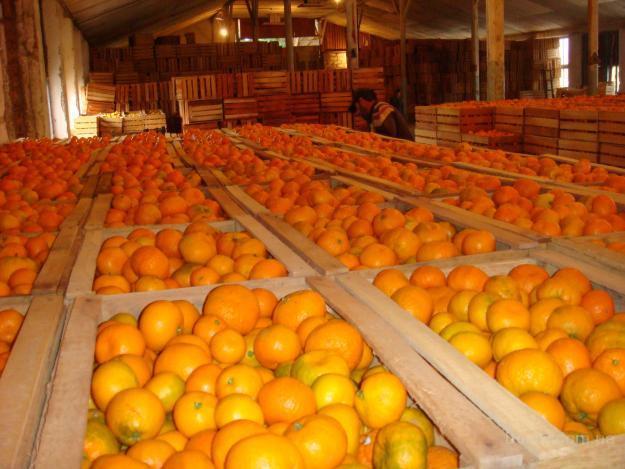 Жителям Крыма рассказали какие мандарины не следует есть