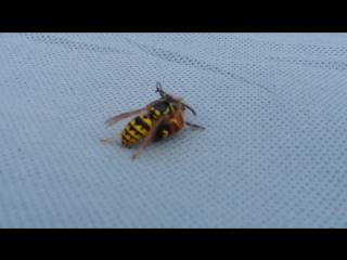 Эпичная схватка осы и пчелы