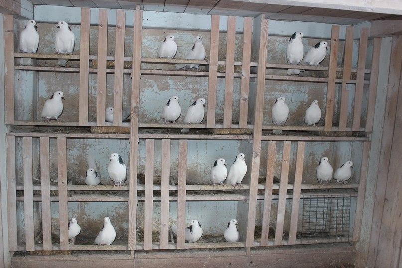Каждая пара голубей сидит в своей «квартирке»