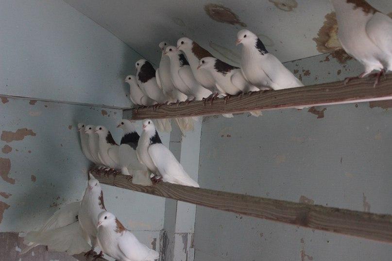 Голуби С.А. Елисеева породы «пермские гривуны»